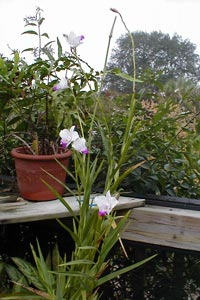 This bamboo orchid grows nicely on my screened porch