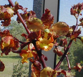 A good look at the flowers of the cigar orchid